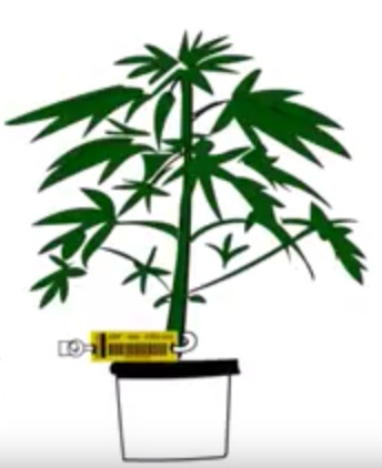 Cannabis Plant with Tag – 344×422